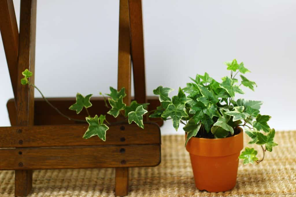 Ivy and end table - easy DIY home decorating ideas