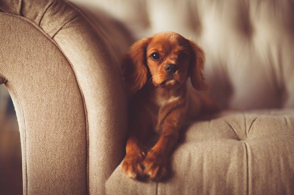 Puppy on sofa.  Furniture buying tips